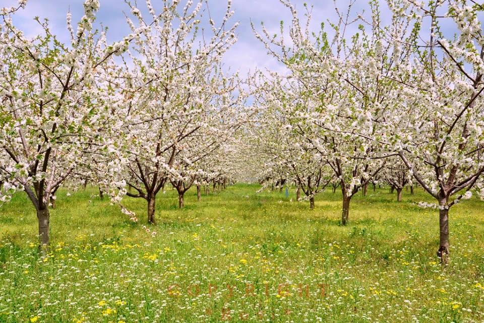 Cherry garden in the spring