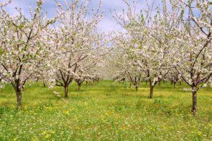 Kirschgarten im Frühling