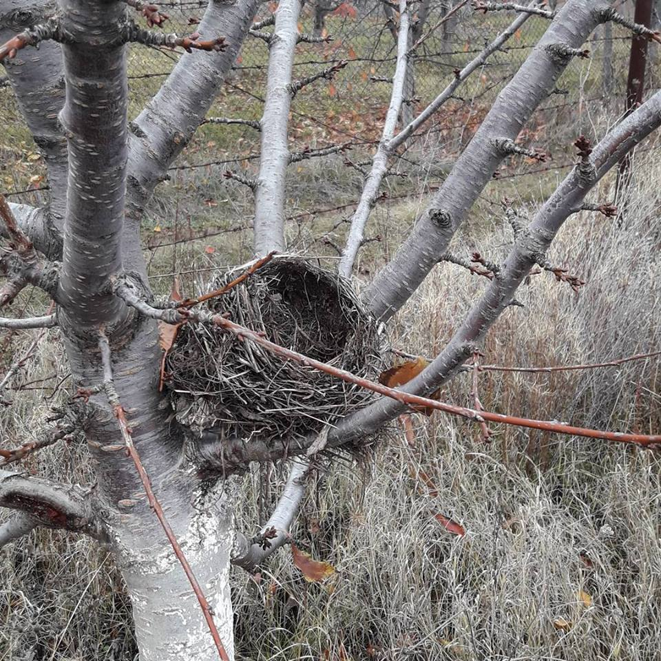 Гнездо във черешова градина